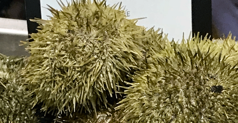 seafood-expo-Maine_Sea_Urchin_from_Pangea_Shellfish_Company-bret-thorn.png