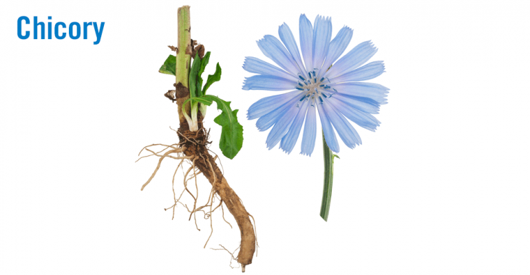 chicory-2-root-and-flower.png
