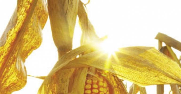 Corn prices set to skyrocket next year