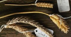 Wheat_hybrids2.jpg