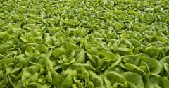 lettuce-post-covid.jpg