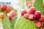 prickly-pear-2-cactus.png