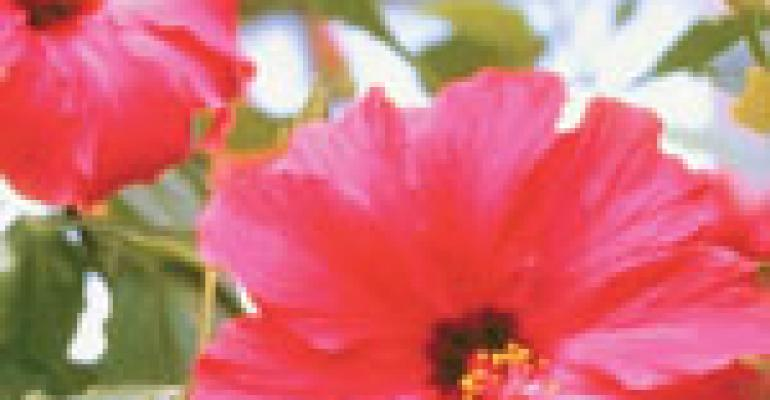 Hibiscus blossoms as a food, drink ingredient
