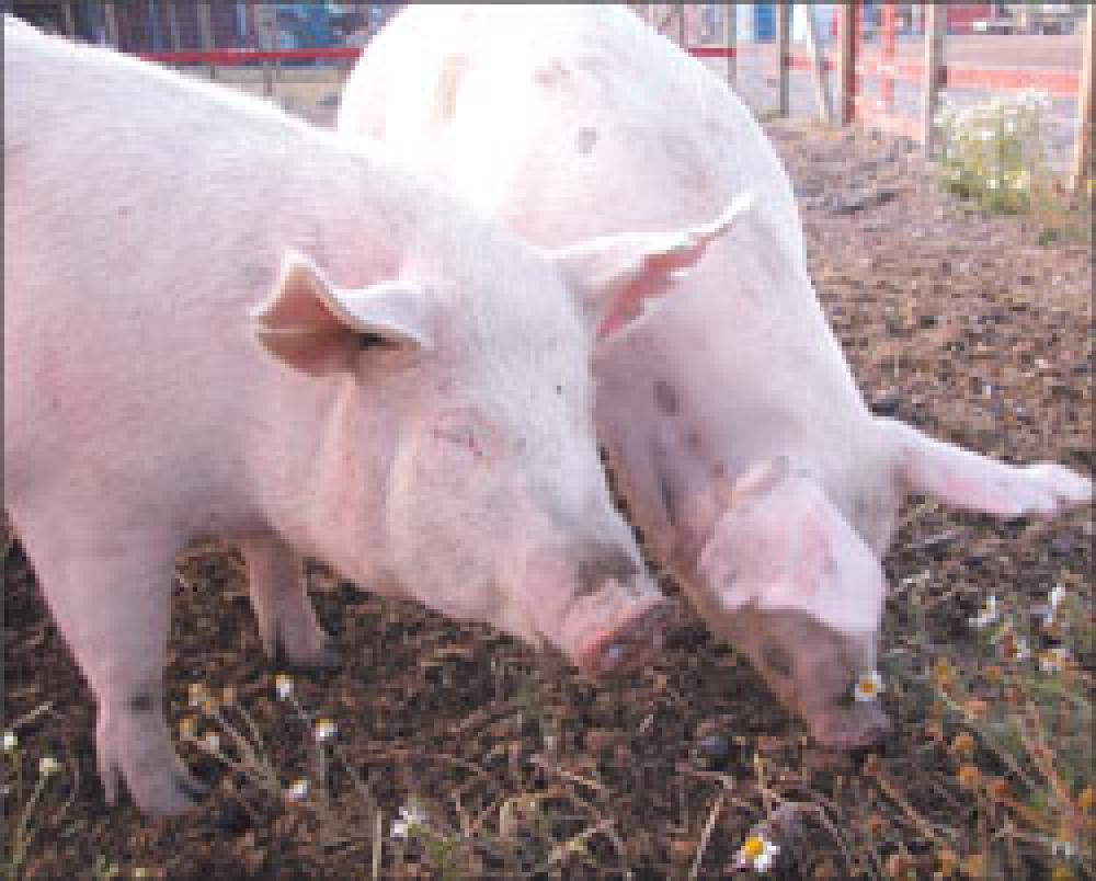 Despite high feed prices, pork production escalates